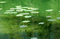 Высокорослые заводы на зеленом озере Стоковая Фотография
