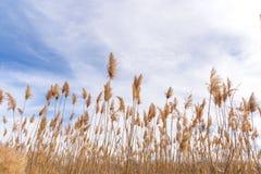 Высокорослые пернатые травы дуя в ветре стоковые изображения