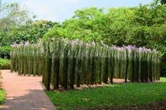 Высокорослые прямые заводы с фиолетовыми цветками на садах Сингапура ботанических стоковые изображения