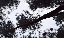Высокорослые сосны захватили от земли - абстрактной естественной картины Стоковые Изображения RF