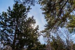 Высокорослые сосны против неба и солнца Стоковые Фото