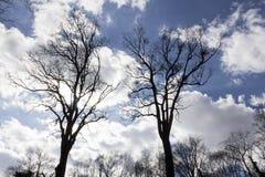 Высокорослые темные чуть-чуть деревья против голубого неба Стоковые Изображения RF