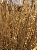 Высокорослый желтый конец травы вверх стоковые фото