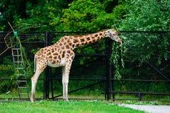 Высокорослый жираф ест листья от дерева стоковые фотографии rf
