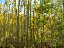 Высокорослый паз дерева осины Стоковое фото RF
