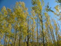 Высокорослый паз дерева осины Стоковые Изображения