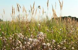 Высокорослая пушистая трава в поле стоковое фото