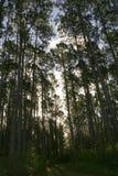 Высокорослая сень сосны в лесохозяйстве Стоковые Фото