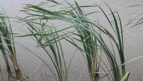 Высокорослая трава в воде в реке сток-видео
