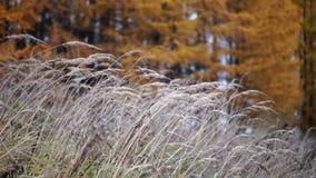 Высокорослая трава, желтые деревья лиственницы акции видеоматериалы