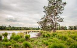 Высокорослая scots сосна против облачного неба в голландской природе rese Стоковое Изображение RF