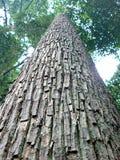 Высокорослое дерево Seraya Стоковое Изображение