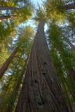 Высокорослые величественные гиганты деревьев redwood Калифорнии стоковая фотография rf