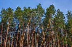 Высокорослые деревья сосенки Стоковые Изображения RF