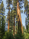 Высокорослые и большие секвойи в национальном парке секвойи Стоковые Изображения RF