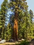 Высокорослые и большие секвойи в национальном парке секвойи Стоковая Фотография RF