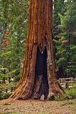 Высокорослые и большие секвойи в национальном парке секвойи Стоковые Фото