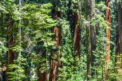 Высокорослые и большие секвойи Стоковое фото RF