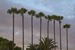 Высокорослые пальмы в ряд в Канн, Франции стоковое фото rf
