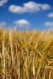 Высокорослые полеводческие растения ячменя пшеницы с голубым небом Стоковое фото RF