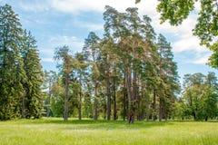 Высокорослые сосны на glade в дендропарке Стоковые Изображения RF