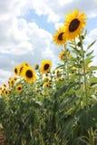 Высокорослые солнцецветы стоковое изображение rf