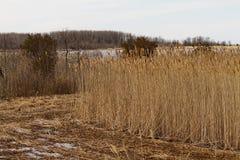 Высокорослые травы в заболоченных местах Стоковое Изображение
