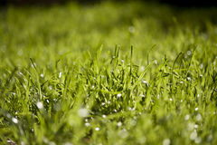 Трава высокорослой овсяницы стоковые фотографии rf