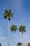 Высокорослые palmtrees над голубым небом Стоковое фото RF