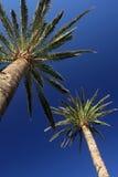 Высокорослые palmtrees Стоковое Фото