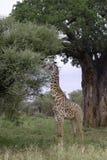 Высокорослый жираф подавая на дереве акации. Стоковые Изображения
