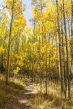 Высокорослый золотой след Aspen стоковое изображение