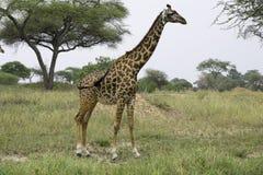 Высокорослый как жираф Стоковая Фотография