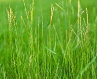 Высокорослый конец зеленой травы вверх по предпосылке Стоковое фото RF