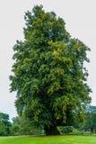 Высокорослый дуб в поле Стоковая Фотография