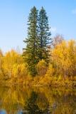 2 высокорослых ели в лесе осени Стоковая Фотография