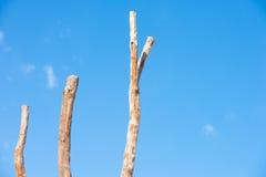 3 высокорослых мертвых ствола дерева изолировали голубое небо Стоковая Фотография