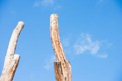 2 высокорослых мертвых ствола дерева изолировали голубое небо Стоковое Фото