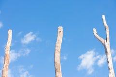 3 высокорослых мертвых стержня дерева изолировали голубое небо Стоковое Изображение