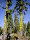 2 высокорослых мшистых дерева Стоковые Изображения