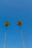 2 высокорослых пальмы на голубом небе Стоковое Изображение