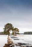 2 высокорослых сосны на полях Стоковые Фотографии RF