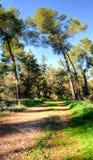 2 высокорослых сосны около дороги леса Стоковое Фото