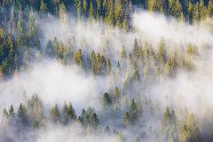 Высочество природы, туманного coniferous леса на восходе солнца Утро i стоковые фото
