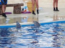 Выставка дельфина в аквариуме Мадриде Испании зоопарка Стоковое Изображение RF