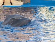 Выставка дельфина в аквариуме Мадриде Испании зоопарка Стоковое Изображение