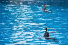 Выставка 2 дельфинов в аквариуме Стоковое фото RF