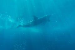 Выставка дельфина в аквариуме подводном Стоковое Фото