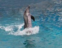 Выставка дельфина стоя в воде Стоковое Фото