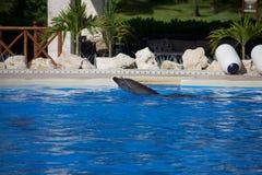 Выставка дельфина Стоковое фото RF
